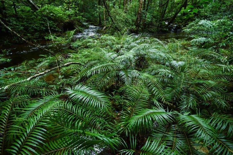 Selva tropical tropical del helecho de árbol fotografía de archivo