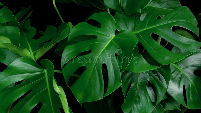 Selva tropical verde da planta decorativa de Monstera das folhas sempre-verde imagem de stock