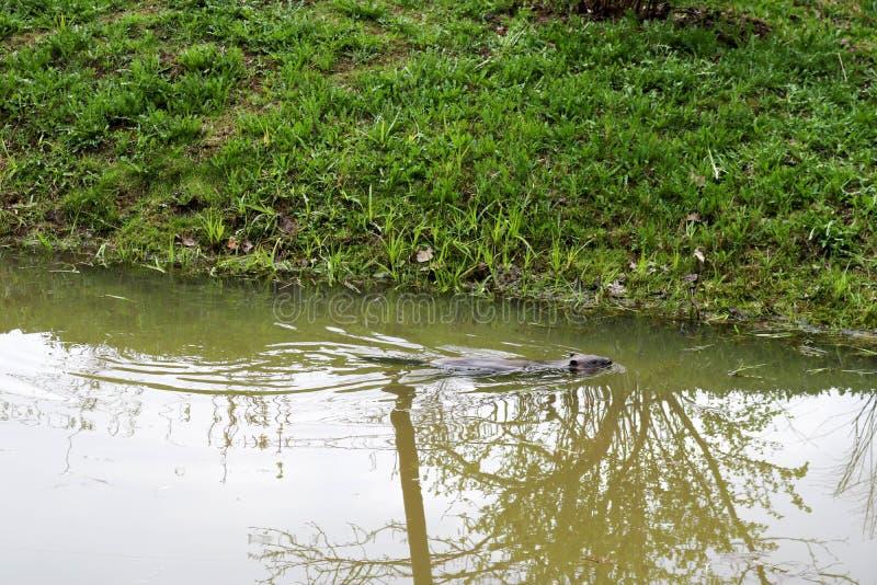 Selvagem molhado de Brown com dentes afiados e comum barato aquático do castor da grande cauda, o roedor flutua em uma lagoa, um  fotografia de stock