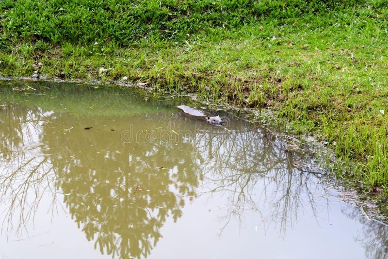 Selvagem molhado de Brown com dentes afiados e comum barato aquático do castor da grande cauda, o roedor flutua em uma lagoa, um  fotografia de stock royalty free