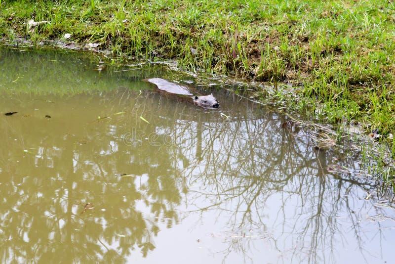 Selvagem molhado de Brown com dentes afiados e comum barato aquático do castor da grande cauda, o roedor flutua em uma lagoa, um  foto de stock