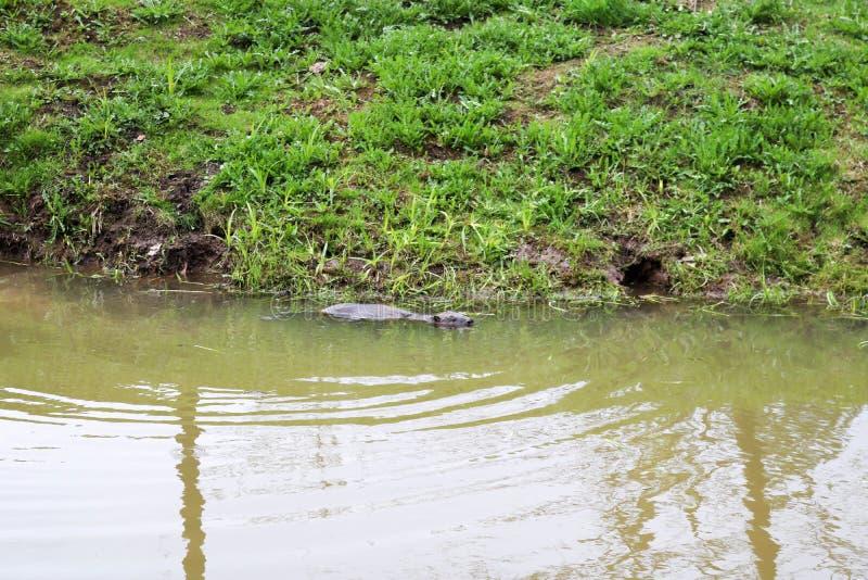 Selvagem molhado de Brown com dentes afiados e comum barato aquático do castor da grande cauda, o roedor flutua em uma lagoa, um  imagens de stock