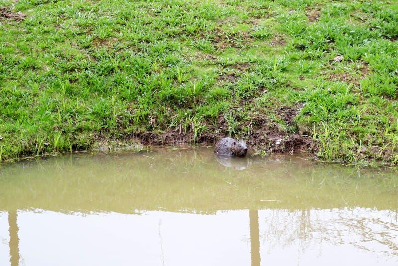 Selvagem molhado de Brown com dentes afiados e comum barato aquático do castor da grande cauda, o roedor flutua em uma lagoa, um  imagens de stock royalty free