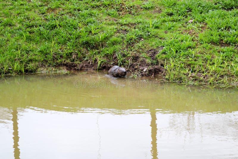 Selvagem molhado de Brown com dentes afiados e comum barato aquático do castor da grande cauda, o roedor flutua em uma lagoa, um  fotos de stock
