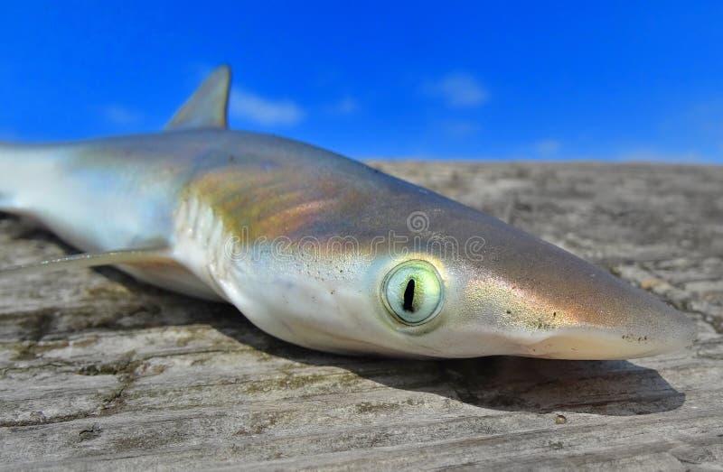 Semaine de requin image libre de droits