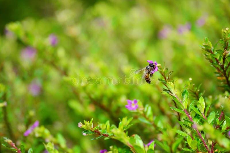 SEMARANG - Las abejas que vuelan están buscando el néctar fotografía de archivo