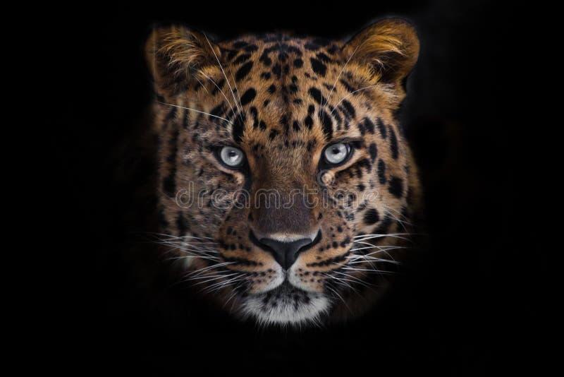 Sembri leopardo brutale e di menzogne dell'Amur, grande gatto eterogeneo potente guarda diritto attraverso gli occhi di un predat fotografia stock libera da diritti