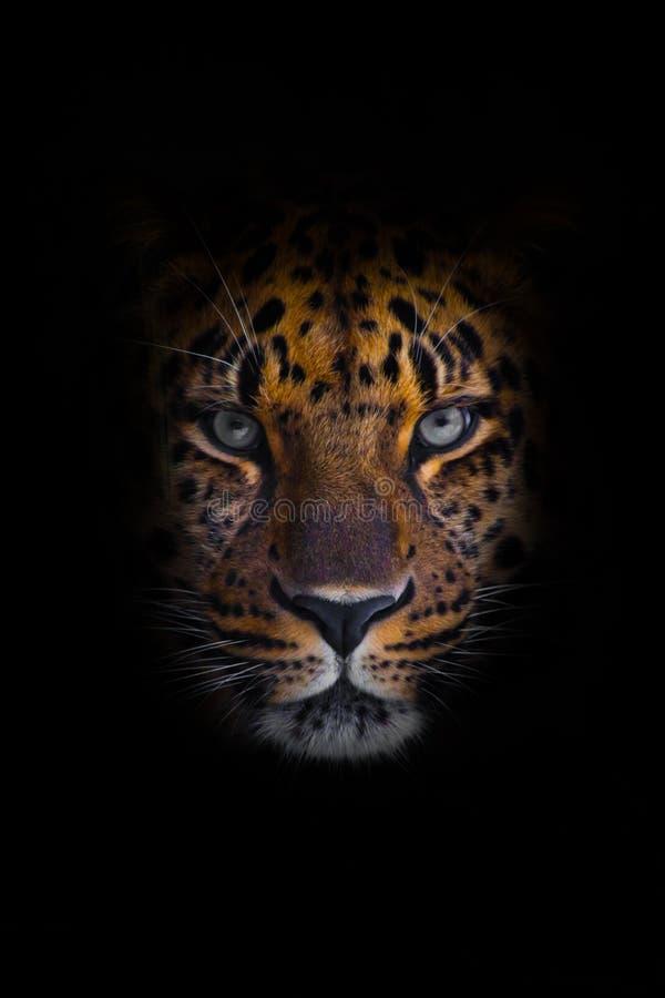 Sembri leopardo brutale e di menzogne dell'Amur, grande gatto eterogeneo potente guarda diritto attraverso gli occhi di un predat fotografia stock