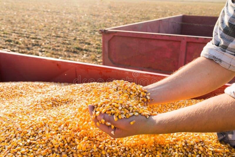 Seme del cereale in mani dell'agricoltore immagine stock libera da diritti