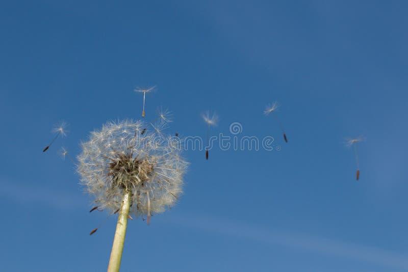 Seme del cielo blu della natura del fiore di Dendelion fotografia stock libera da diritti