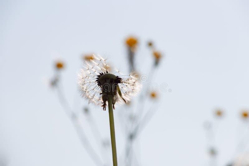 seme del dente di leone nel prato di primavera fotografie stock
