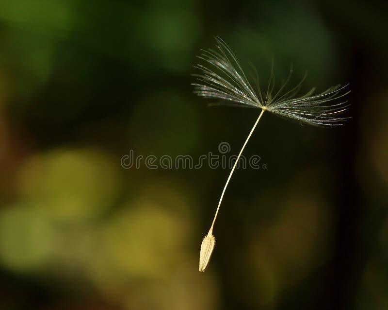 Seme della mosca fotografia stock
