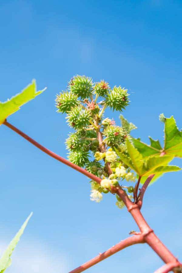 Seme e fiore dell'albero della manioca fotografia stock libera da diritti