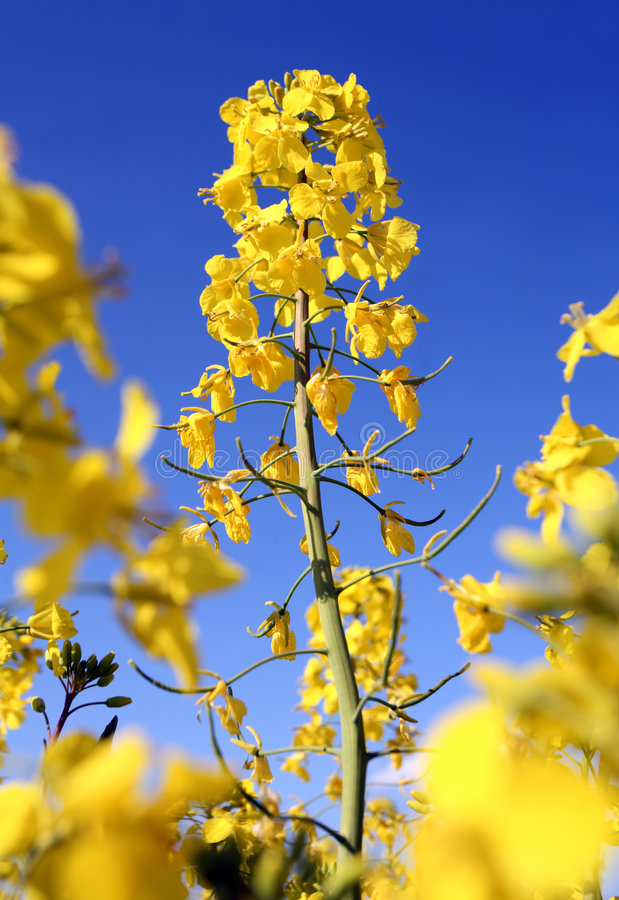 Seme oleifero fotografie stock