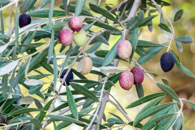 Seme verde oliva fresco sul ramo di albero fotografia stock libera da diritti