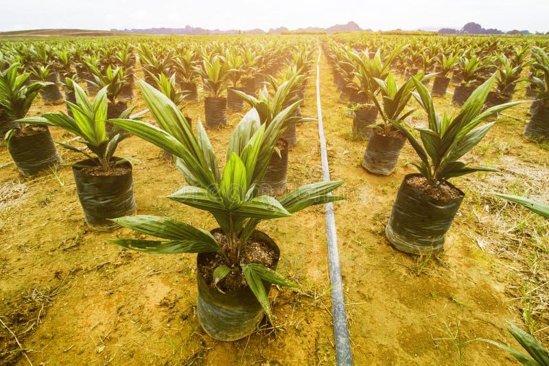 Semeação da palma da plantação ou de óleo da palma de óleo fotos de stock