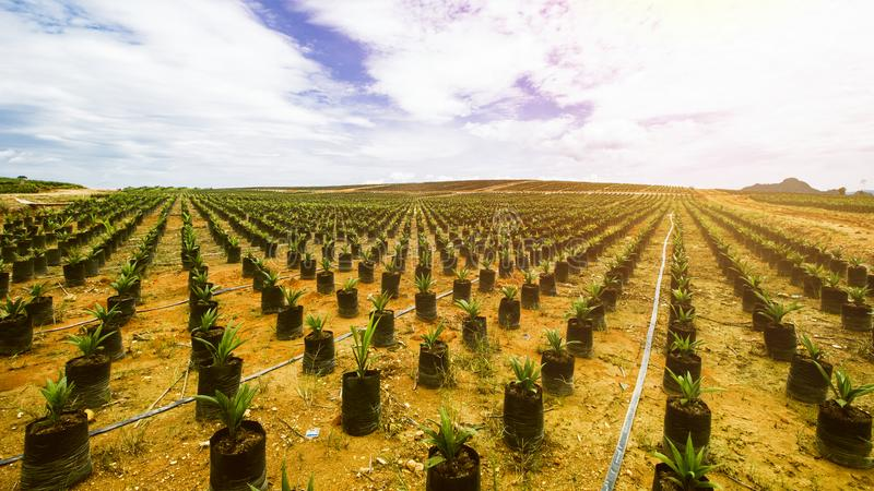Semeação da palma da plantação ou de óleo da palma de óleo imagens de stock