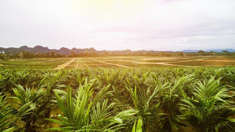 Semeação da palma da plantação ou de óleo da palma de óleo imagens de stock royalty free