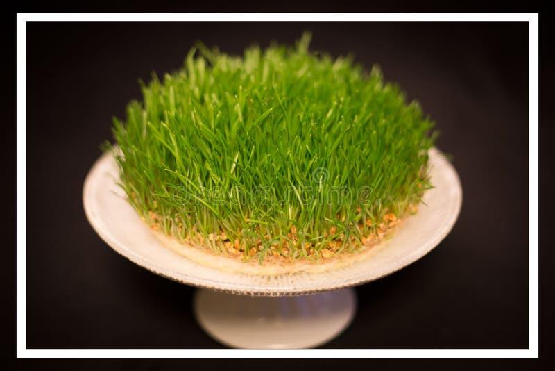 Semeni grass as novruz holiday icon royalty free stock photography