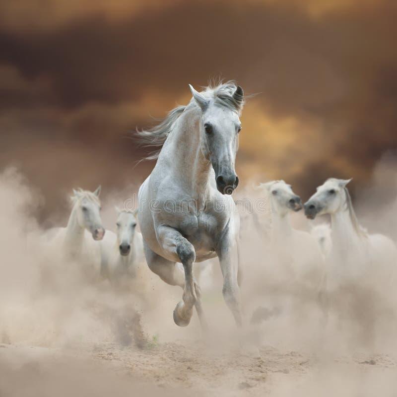 Semental andaluz blanco hermoso con la manada en la libertad imagen de archivo