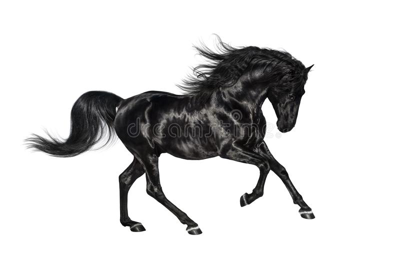 Semental andaluz negro galopante aislado en el fondo blanco fotografía de archivo