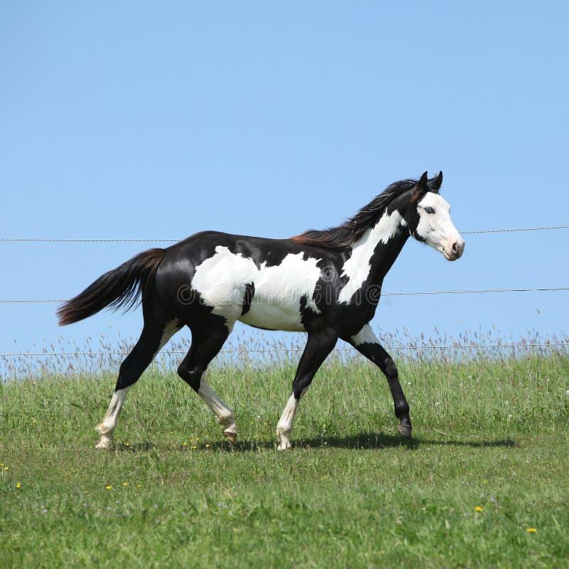 Semental blanco y negro magnífico del funcionamiento del caballo de la pintura imagenes de archivo