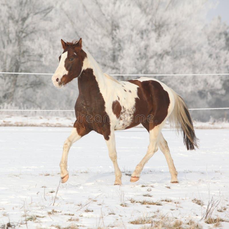 Semental magnífico del caballo de la pintura en pradera del invierno imagen de archivo libre de regalías