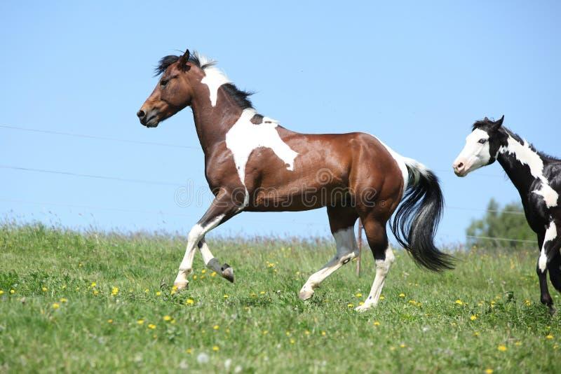Semental marrón y blanco magnífico del funcionamiento del caballo de la pintura fotografía de archivo libre de regalías