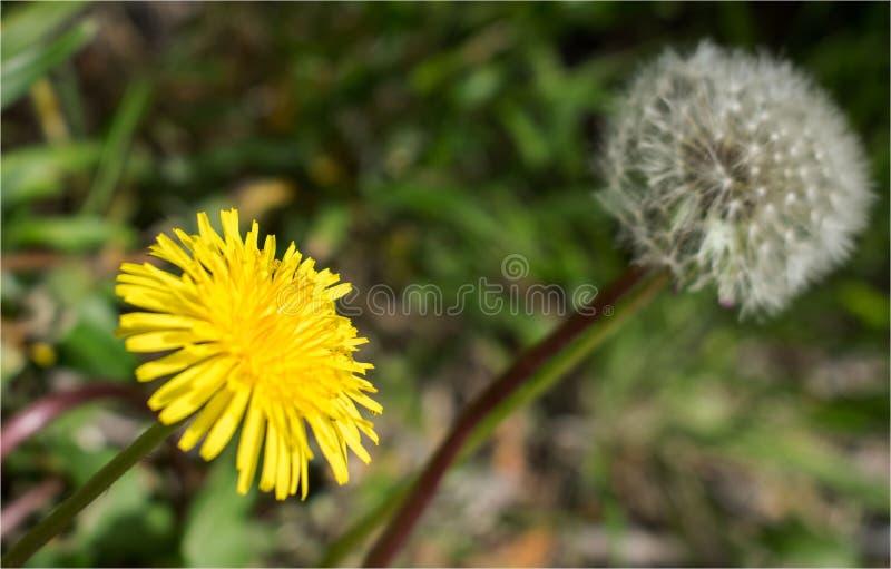 Semente bonita da flor e do dente-de-leão fotos de stock royalty free