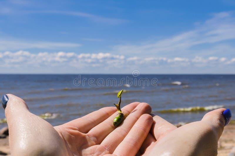 A semente brotada, brota ? disposi??o, brota estiramentos ao sol o come?o de uma vida nova no fundo da areia, praia, c?u azul foto de stock royalty free