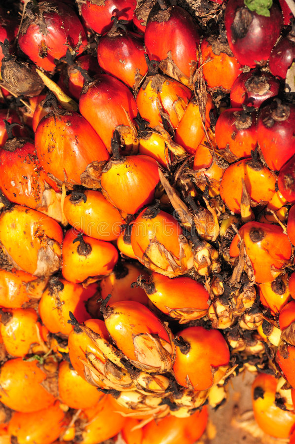 Semente da semente de palma de Riped fotografia de stock