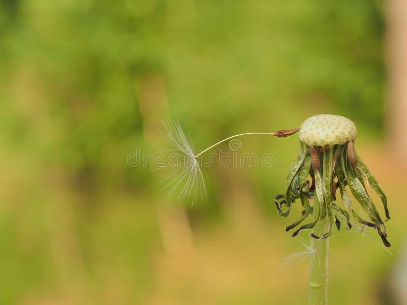 A semente de um dente-de-le?o Há somente uma semente do dente-de-leão fotos de stock