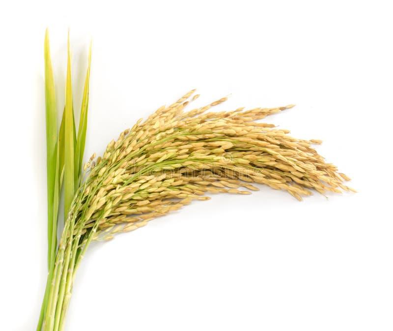Semente do arroz 'paddy'. imagem de stock