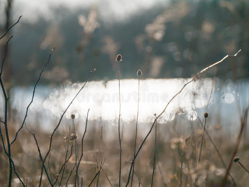 Semente do dente-de-leão sob o por do sol perto da lagoa imagens de stock
