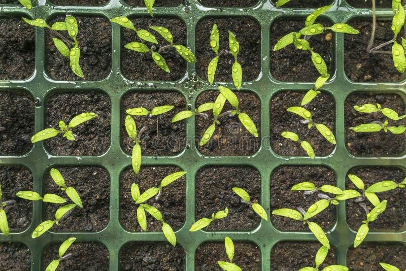 Sementeira com as plântulas novas dos tomates que germinam imagem de stock