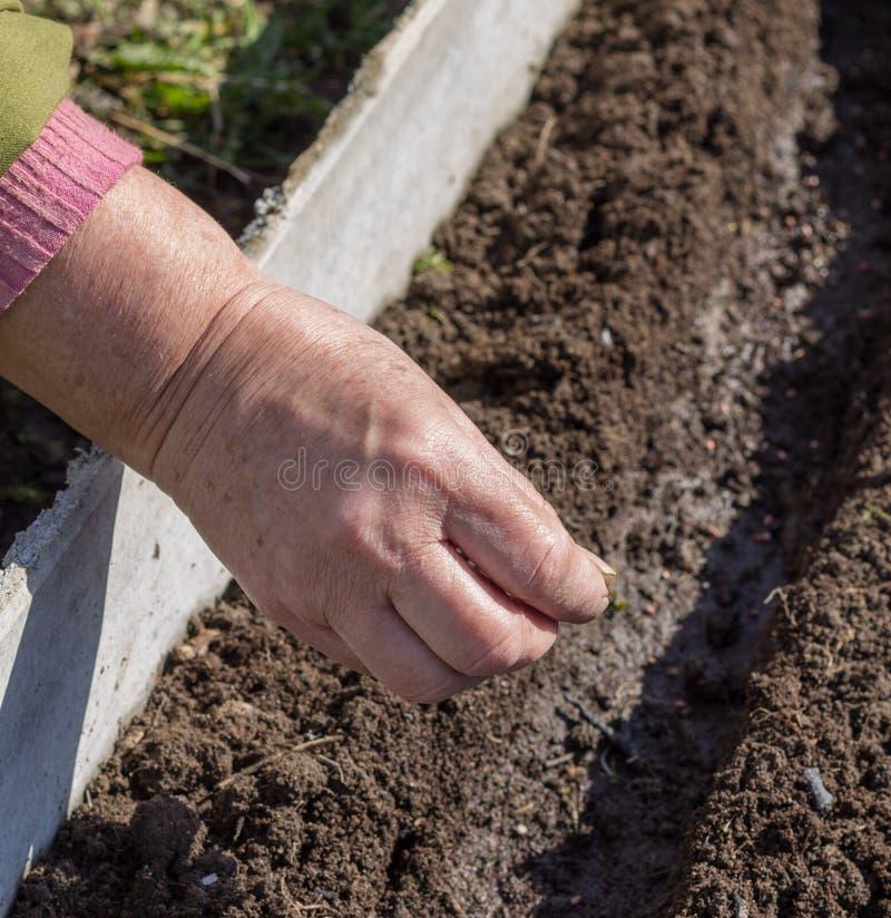 Sementeira da semente nos sulco preparados imagens de stock