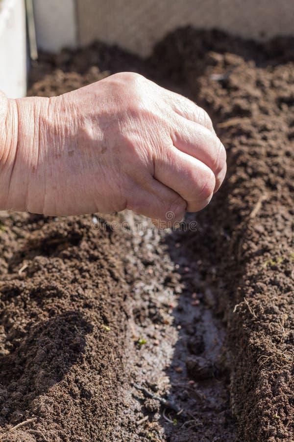 Sementeira da semente nos sulco preparados foto de stock royalty free