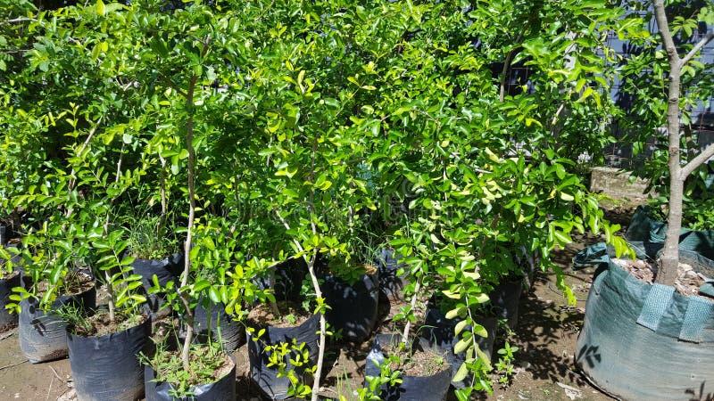 Sementes alaranjadas, plantas que são facilmente fotos de stock royalty free