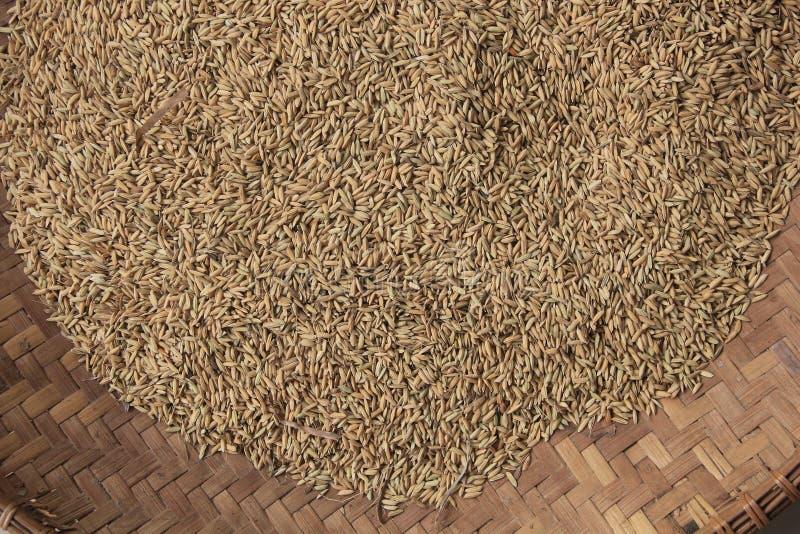 Sementes amarelando do arroz prontas para ser processado no arroz imagens de stock