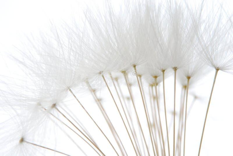 Sementes brancas macias do dente-de-leão fotografia de stock