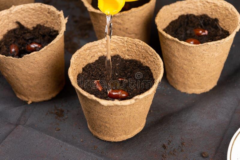 Sementes chinensis molhando do lichi da menina plantadas em uns potenciômetros da turfa para plântulas crescentes Plântulas cresc foto de stock