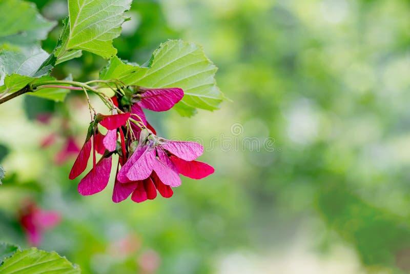 Sementes cor-de-rosa do bordo em um background_ obscuro verde imagem de stock royalty free