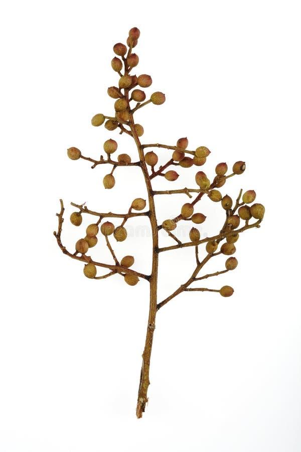 Sementes da árvore fotos de stock