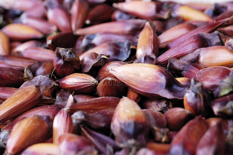 Sementes da árvore da araucária de Araucano, conhecidas como o pinhão fotografia de stock