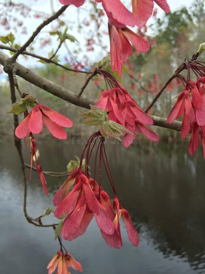 Sementes da árvore de bordo fotos de stock