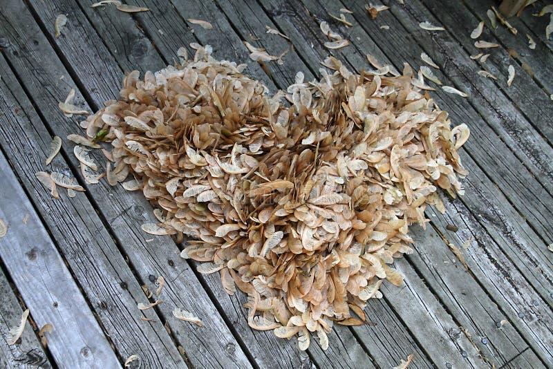 Sementes da árvore de bordo - forma do coração imagens de stock