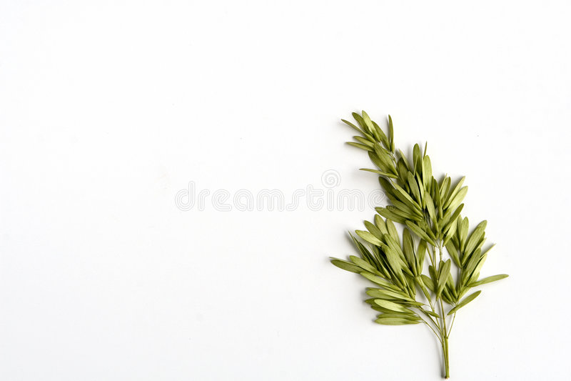 Sementes da árvore de cinza fotografia de stock royalty free