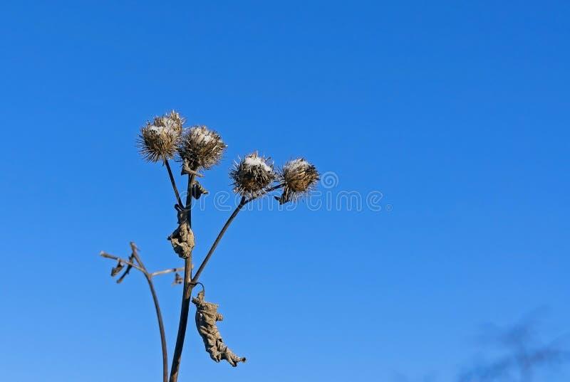Sementes da bardana cobertas com a neve contra o céu azul fotos de stock royalty free
