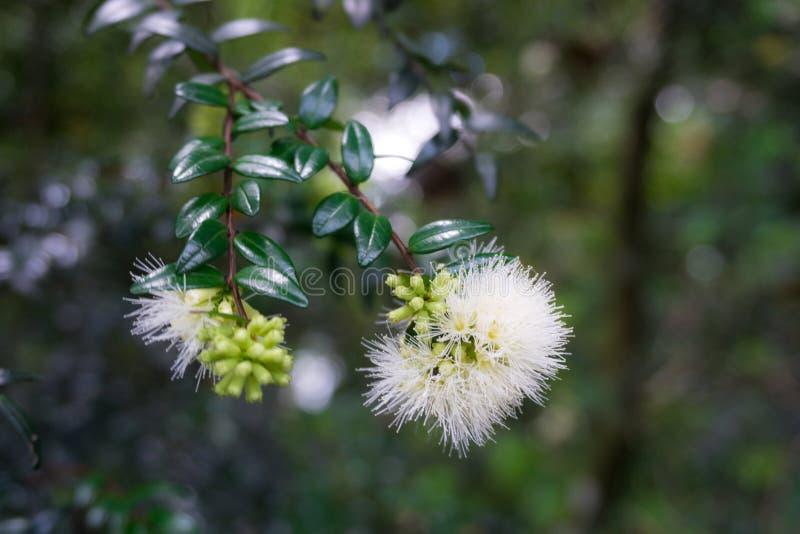 Sementes da maçã da água já que florescem na flor bonita branca Kebun recolhido foto Raya Bogor Indonesia fotografia de stock royalty free