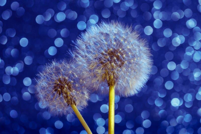 Sementes da mola e da flor do verão do dente-de-leão no CCB azul de Bokeh fotos de stock